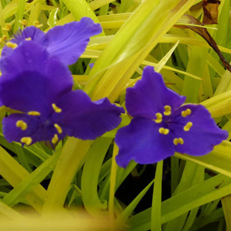 Tradescantia andersoniana 'Sweet Kate'