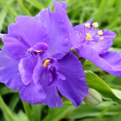 Tradescantia andersoniana 'Zwanenburg Blue' - Eéndagsbloem - Tradescantia andersoniana 'Zwanenburg Blue'