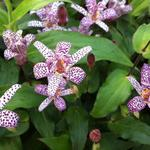 Tricyrtis formosana - Paddenlelie / armeluisorchidee - Tricyrtis formosana