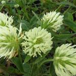 Klaver - Trifolium ochroleucum