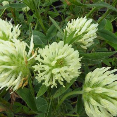 Trifolium ochroleucum -
