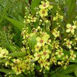 Verbascum chaixii - Toorts