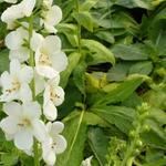 Verbascum hybrid 'White Domino' - Toorts - Verbascum hybrid 'White Domino'
