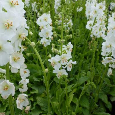Verbascum phoeniceum 'Flush of White' - Paarse toorts