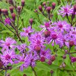 Vernonia, IJzerkruid - Vernonia crinita 'Mammuth'