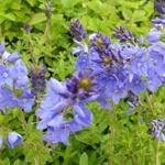 Ereprijs - Veronica austriaca subsp. teucrium 'Royal Blue'