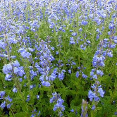 Veronica Austriaca 'Shirley Blue' -