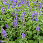 Ereprijs - Veronica longifolia 'Blauriesin'