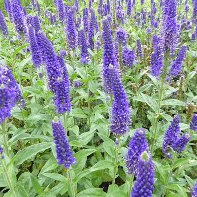 Veronica longifolia 'Marietta' -