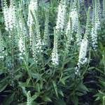 Veronica spicata 'Alba' - Ereprijs - Veronica spicata 'Alba'