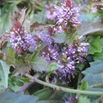 Veronicastrum latifolium - Veronicastrum latifolium - Kruipende ereprijs