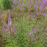 Veronicastrum virginicum 'Fascination' - Virginische ereprijs - Veronicastrum virginicum 'Fascination'