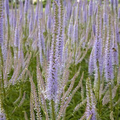 Veronicastrum virginicum 'Lavendelturm' -