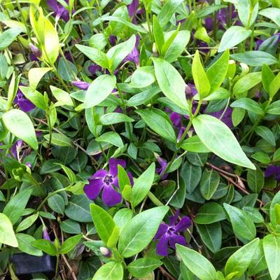 Vinca minor 'Atropurpurea' -