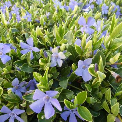 Vinca minor 'Aureovariegata'  -