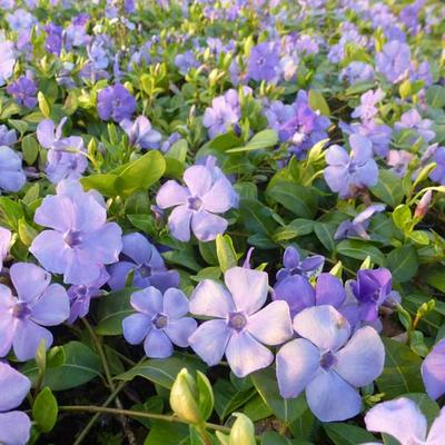 Vinca minor 'Flower Power' -