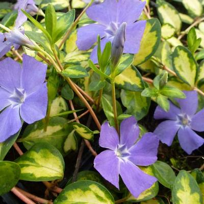 Vinca minor 'Illumination'  -