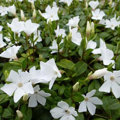 Vinca minor 'White Power' -