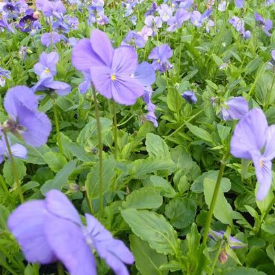 Viola cornuta 'Blaue Schönheit' -