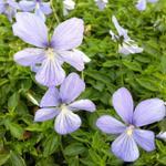 Viola cornuta 'Boughton Blue' - Hoornviooltje - Viola cornuta 'Boughton Blue'