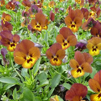 Viola cornuta  'Irish Molly' -