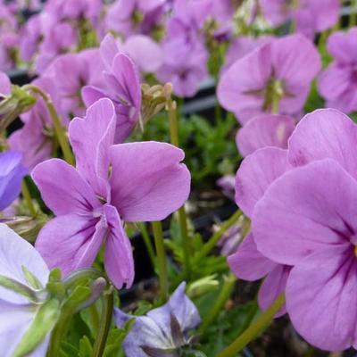 Viola cornuta  'Letitia' -