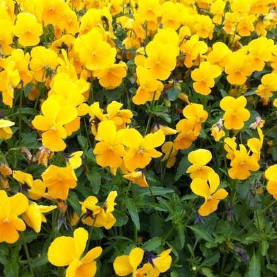 Viola cornuta 'Lutea Splendens' -