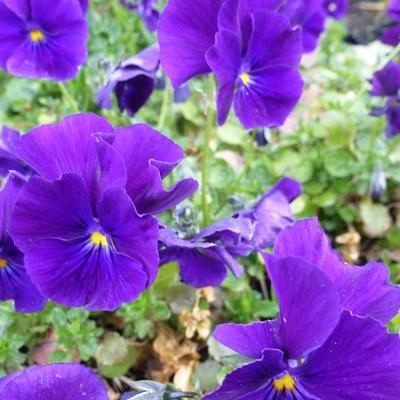 Viola cornuta 'Martin' - Hoornviooltje - Viola cornuta 'Martin'