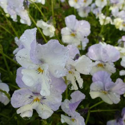 Viola cornuta 'Milkmaid' -