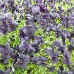 Zwarte viooltjes - Viola cornuta 'Molly Sanderson'