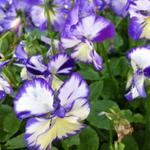 Viola cornuta 'Rebecca' - Viola cornuta 'Rebecca' - Viooltjes