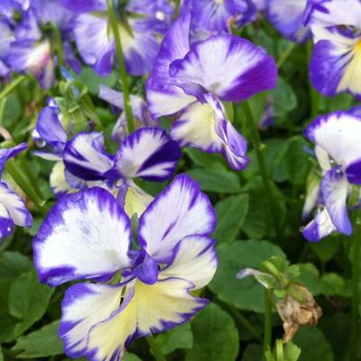 Viola cornuta 'Rebecca' -