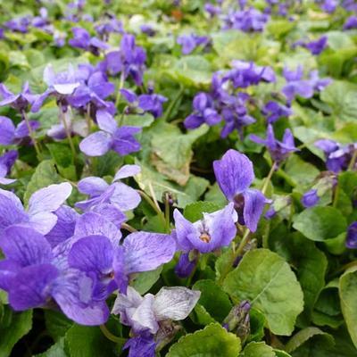Viola odorata 'Königin Charlotte' -
