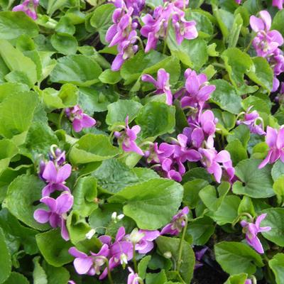 Viola odorata 'Red Charm' -