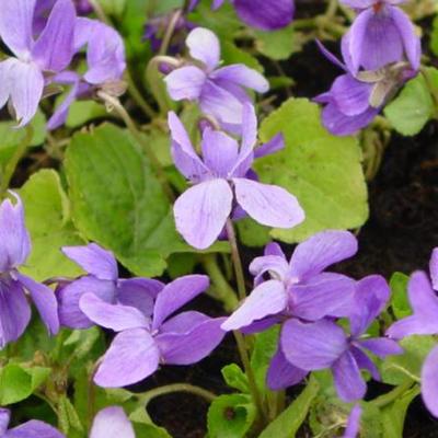 Viola odorata 'Vanilla' -