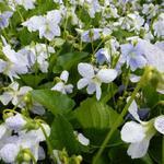 Viooltjes - Viola sororia 'Freckles'