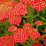 Duizendblad - Achillea millefolium 'Safran'