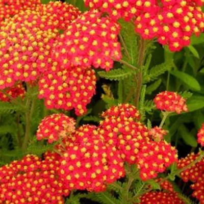 Achillea millefolium 'Safran' -