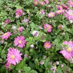 Anemone hybrida x 'Bressingham Glow' - Japanse anemoon / herfstanemoon - Anemone hybrida x 'Bressingham Glow'