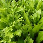 Asplenium  scolopendrium 'Cristatum' - Steenbreekvaren - Asplenium  scolopendrium 'Cristatum'