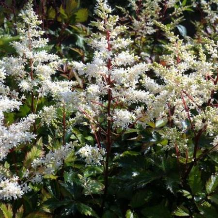 Astilbe x arendsii  'Rock and Roll'
