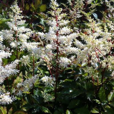 Astilbe x arendsii  'Rock and Roll' -