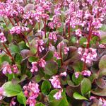 Bergenia 'Bressingham Ruby' - Bergenia 'Bressingham Ruby' - Schoenlappersplant