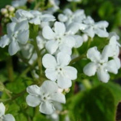 Brunnera macrophylla 'Marley's White' -