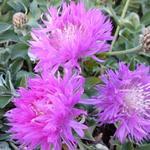 Centaurea hypoleuca 'John Coutts' - Korenbloem - Centaurea hypoleuca 'John Coutts'
