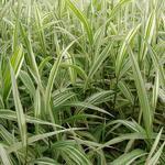 Plat arengras - Chasmanthium latifolium 'River Mist'