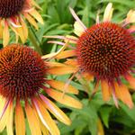 Echinacea purpurea 'Funky Yellow' - Rode zonnehoed - Echinacea purpurea 'Funky Yellow'