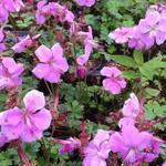 Geranium dalmaticum 'Bressingham Pink' - Ooievaarsbek - Geranium dalmaticum 'Bressingham Pink'