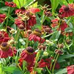 Helenium 'Red Jewel' - Zonnenkruid - Helenium 'Red Jewel'