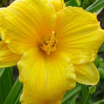 Hemerocallis 'Texas Sunlight' - Daglelie